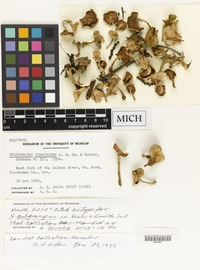 Holotype of Hygrophorus subpungens A.H.Sm. & Hesler [family HYGROPHORACEAE]