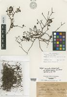 Isotype of Chorizanthe staticoides Benth. var. latiloba Goodman [family POLYGONACEAE]