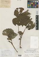 Isotype of Begonia brachyptera Merr. & L.M.Perry [family BEGONIACEAE]