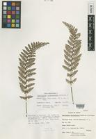 Isotype of Cheilanthes chipinquensis Knobloch & Lellinger [family ADIANTACEAE]
