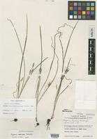 Holotype of Hypoxis lucens McVaugh [family HYPOXIDACEAE]