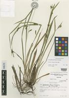 Isotype of Carex gholsonii Naczi & Cochrane [family CYPERACEAE]