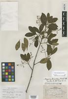 Isotype of Eugenia vallis Standl. [family MYRTACEAE]