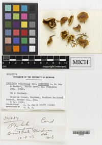 Holotype of Pholiota pulchella A.H.Sm. & Hesler var. brevipes A.H.Sm. & Hesler [family CORTINARIACEAE]