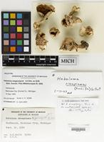 Holotype of Hebeloma megacarpum A.H.Sm. ex Grilli [family CORTINARIACEAE]