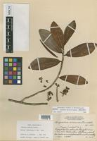 Holotype of Ruyschia enervia Lundell [family MARCGRAVIACEAE]