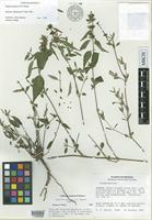 Isotype of Justicia masiaca T.F.Daniel [family ACANTHACEAE]