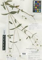 Holotype of Wedelia vexata Strother [family ASTERACEAE]