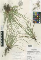 Isotype of Carex juniperorum Catling, Reznicek & Crins [family CYPERACEAE]