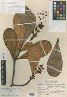 Holotype of Clusia massoniana Lundell [family CLUSIACEAE]