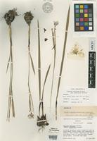 Isotype of Tigridia mexicana Molseed subsp. passiflora Molseed [family IRIDACEAE]
