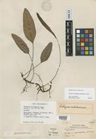 Holotype of Selliguea matutumensis Copel. [family POLYPODIACEAE]