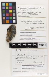 Holotype of Lecidea humilis Lowe [family LICHENS]