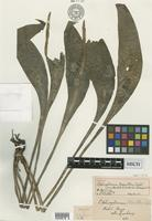 Holotype of Ophioglossum moultoni Copel. [family OPHIOGLOSSACEAE]
