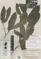 Isotype of Salacia cauliflora A.C. Sm. [family CELASTRACEAE]