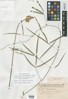 Isotype of Dolichopsis paraguariensis Hassl. [family FABACEAE]
