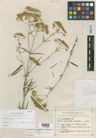 Isotype of Flaveria sonoroensis Powell [family ASTERACEAE]
