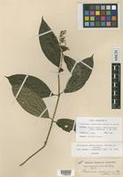 Isotype of Palicourea costaricensis Benth. ex Oerst. [family RUBIACEAE]
