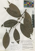 Type of Eugenia peregrina McVaugh [family MYRTACEAE]