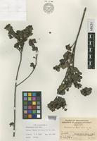 Isotype of Rhododendron tsoi Merr. [family ERICACEAE]