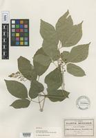 Isotype of Urvillea biternata Weath. [family SAPINDACEAE]