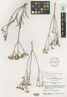 Isotype of Eriogonum saurinum Reveal [family POLYGONACEAE]