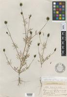 Isotype of Bidens cognata Greene [family ASTERACEAE]