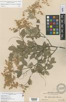 Holotype of Holodiscus australis A. Heller [family ROSACEAE]