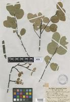 Isotype of Amelanchier leptodendron Lunell [family ROSACEAE]