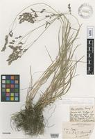 Isotype of Poa phoenicea Rydb. [family POACEAE]
