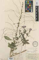 Isotype of Gynandropsis tracyi Briq. [family CAPPARACEAE]