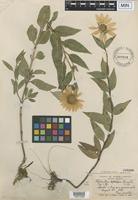 Isotype of Helianthus apricus Lunell [family ASTERACEAE]