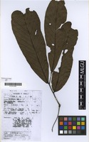 Filed as Anonidium mannii (Oliv.) Engl.& Diels [family ANNONACEAE]