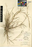 Isotype of Axonopus stragulus Chase [family POACEAE]