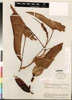 Isotype of Philodendron muricatum Willd. ex Schott [family ARACEAE]