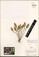 Holotype of Restrepiopsis inaequalis Luer & R. Escobar [family ORCHIDACEAE]