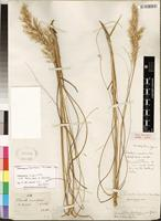 Isolectotype of Pentaschistis eriostoma (Nees) Stapf [family POACEAE]