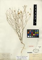 Type of Linum subteres (Trel.) H.J.P. Winkl. [family LINACEAE]