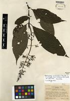 Isotype of Palicourea vulcanalis Standl. ex C.M. Taylor [family RUBIACEAE]