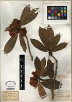 Type of Rhododendron spanotrichum Balf. f. & W.W. Sm. [family ERICACEAE]