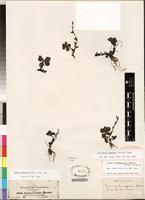 Isotype of Cycniopsis humifusa (Forssk.) Engl. [family SCROPHULARIACEAE]