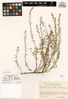 Isotype of Cuphea undesignated P. Browne [family LYTHRACEAE]