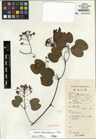 Isotype of Bauhinia damiaoshanensis T.C. Chen [family FABACEAE]