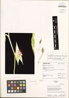 Isotype of Lepanthes mononeura Luer & J. Hermans [family ORCHIDACEAE]