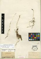 Isotype of Dendrophylax hymenanthus Rchb. f. ex Benth. & Hook. f. [family ORCHIDACEAE]