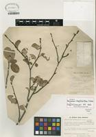 Isotype of Amelanchier integrifolia Boiss. & Hohen. [family ROSACEAE]