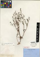 Isotype of Eriogonum angulosum Benth. [family POLYGONACEAE]