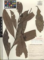 Isotype of Urbanodendron macrophyllum Rohwer [family LAURACEAE]