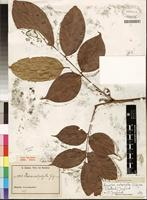 Type of Paxia calophylla Gilg ex G. Schellenb. [family CONNARACEAE]