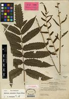 Isotype of Bolbitis subcordata (Copel.) Ching [family DRYOPTERIDACEAE]